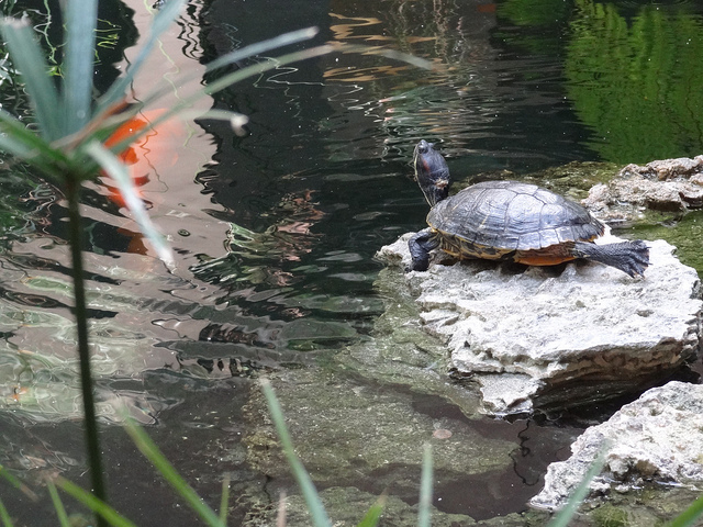 Flickr-turtle bal harbour