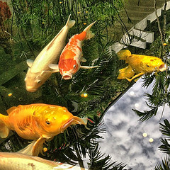 Koi fish in Bal Harbour shopping center