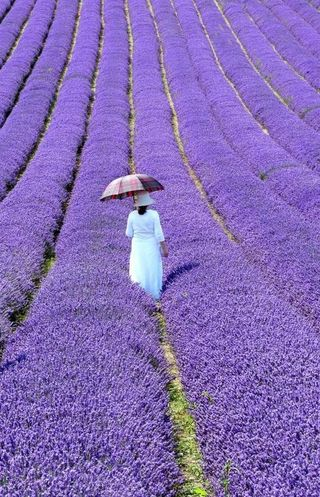 The lavender walk
