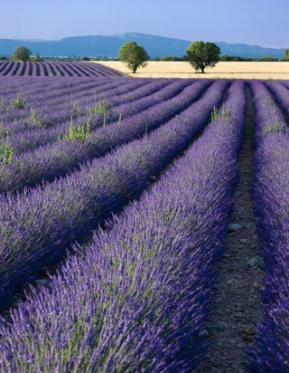 lavender fields france photo via pinterest