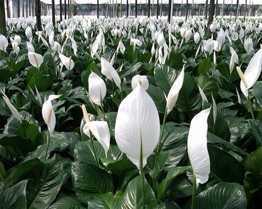 Peace Lily-2