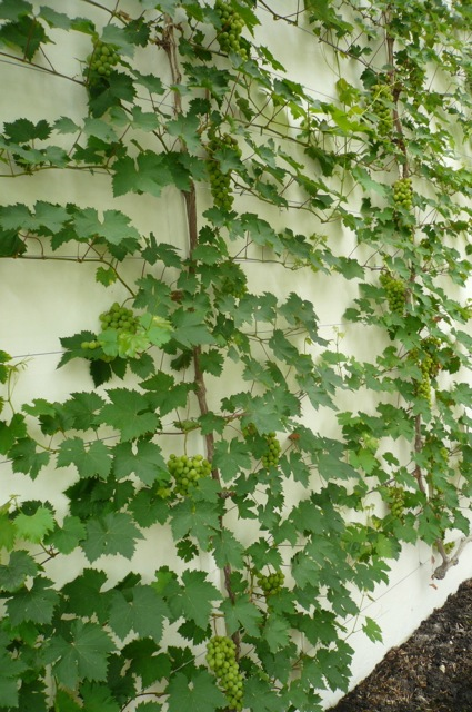 Vine espalier at West Dean by Claudia de Yong