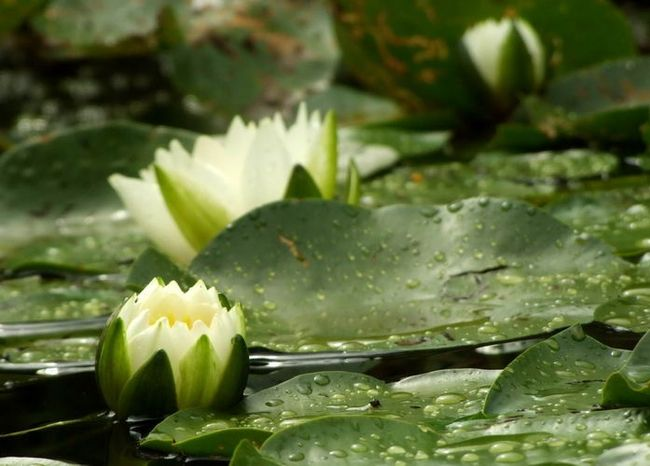 Nymphaea Pygmaea Helvola ideal for container water garden