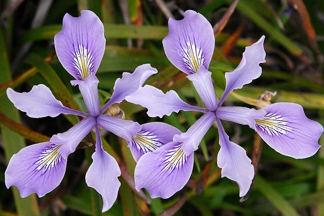Iris Versicolour plant for container water garden