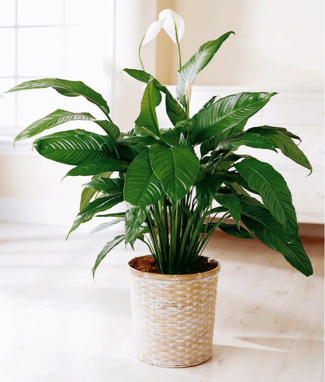 The Peace Lily is a unanimous choice for eFIG's 'Office