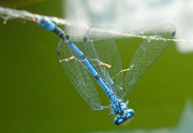 Blue-dragonfly-near-wildlife-pond-west-sussex-photo-by-Claudia-de-Yong